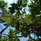 Fig tree, fruit,  Provence, France REPORTERS©Marc Verpoorten